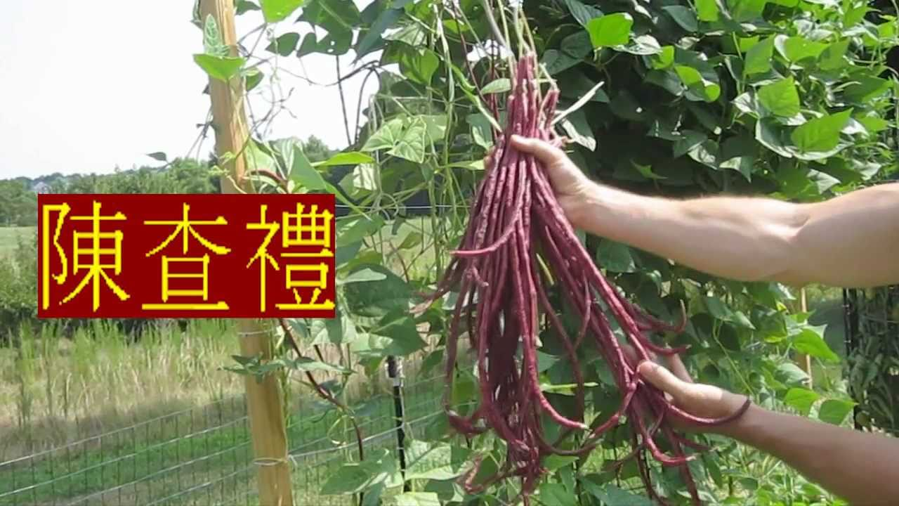 Red Noodle Long Beans Chinese Yard Long Pole Bean