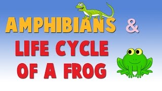 Amphibians - Life Cycle of a Frog - Learn About Animals for Kids