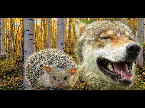 Еж и волк. Hedgehog and wolf.