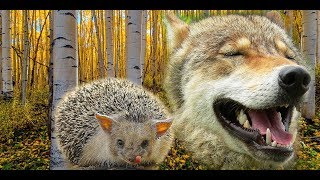 Еж и волк. Hedgehog and wolf.