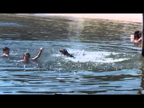 Hero Dog Saves Drowning Child! video