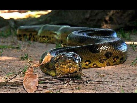 amazonas anacondas