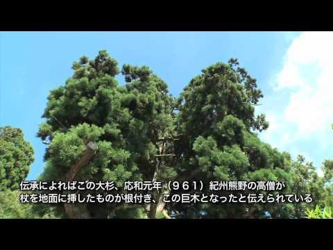 岐阜県の巨木・銘木05「神ノ御杖スギ」