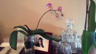2013-02-02 - My phalaenopsis orchid grown in water medium has bloomed!