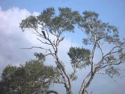 Sri Lanka,ශ්රී ලංකා,Ceylon,Peacock,Peafowl in a tree(02)