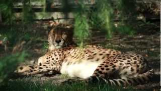Cheetah at rest [1080p]