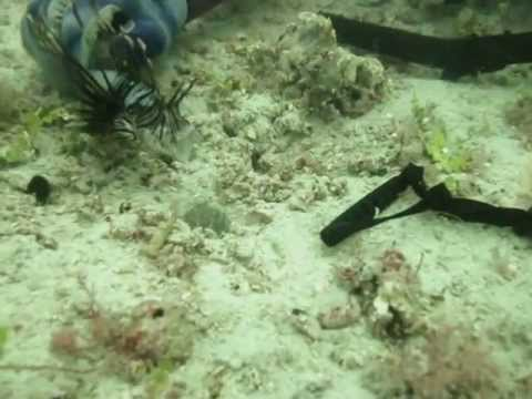 Feeding a Mantis Shrimp a live Lionfish