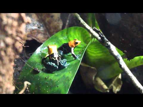 Ranitomeya fantastica 'Varadero' courting