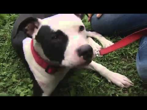 Pit Bull Puppy Saves Family