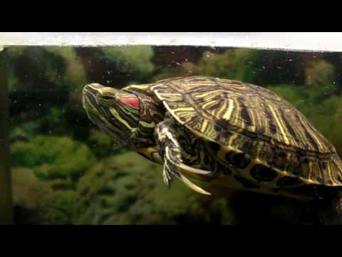 my Red eared slider turtle tank setup with DIY raised canopy (work in progress)