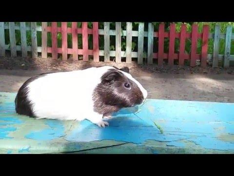 Ногу свело - Свинья / Swine
