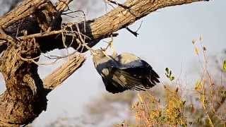 An African Harrier-Hawk hunting upside down (Gymnogene)