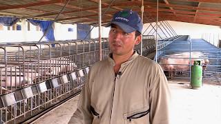 Talón de Aquiles de los cerdos | La Finca de Hoy