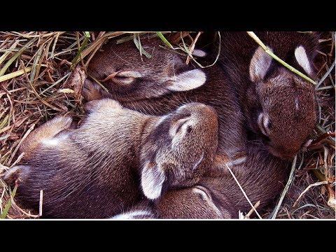 Подготовка к окролу  / Вакцинация кроликов