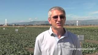 Un protocollo per il pomodoro - Sinergie per l'orticoltura