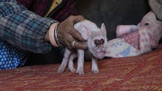 Mutant Pig born with face of MONKEY but family decide to raise it like a baby