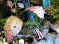 Epipedobates tricolor cantando (singing)6