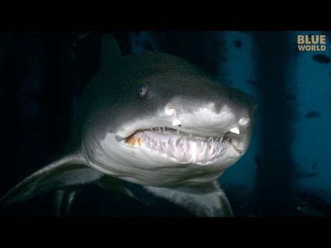 Sand Tiger Sharks of North Carolina | JONATHAN BIRD'S BLUE WORLD
