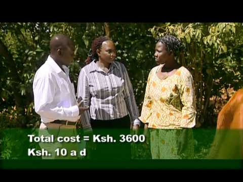 Shamba Shape Up 8 - insuring your cow Thumbnail