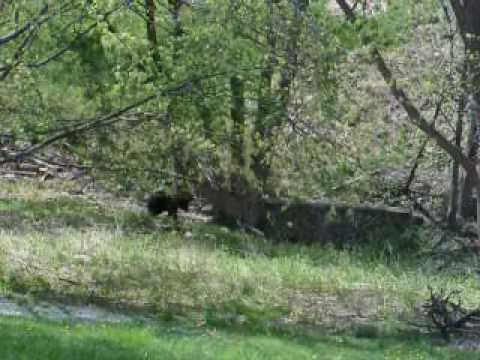 Black Bear Cubs at play in Branchville NJ - Part 2