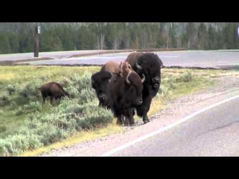 Yellowstone bison rams a minivan.m4v