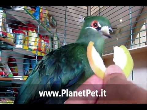 Turaco di Livingstone – www.PlanetPet.it