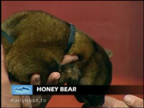 Adorable Honey Bear on The Daily Buzz