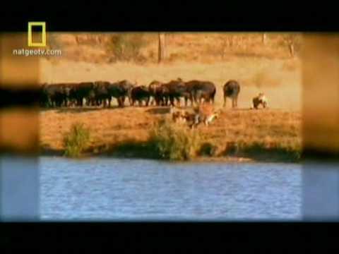 national geographic- manada de bufalos enfrenta 6 leões para salvar filhote