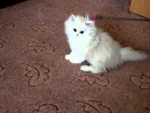 Стрижка персидские кошки