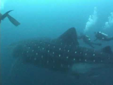 Oh My Gosh - Giant 45ft+ Whaleshark Video