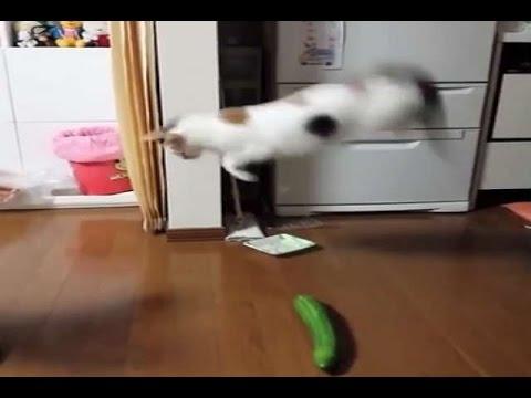 Очень смешно! Коты боятся огурцов! Cats scared by cucumbers!