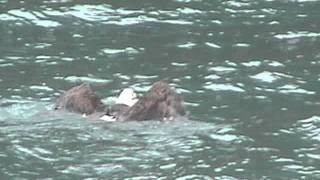 Bald Eagle swimming after too large of a catch - Alaska