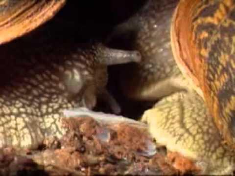 Caracoles - La Reproducción de los Caracoles