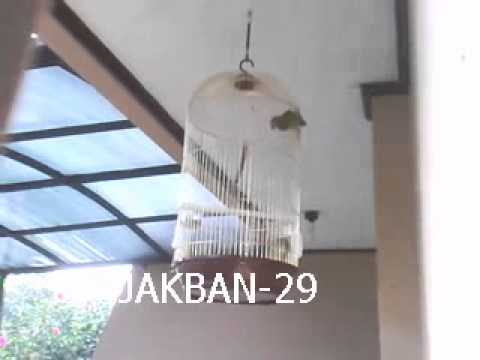 Burung Lovebird Holland Betina Ring video