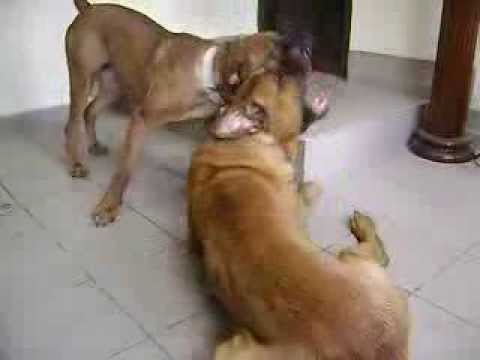 TOSA INU Pair (GHOST DOG O. Samuraj & TESSA NoryTessa) dog fight Video