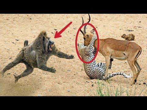 Hero Baboons Save Impala From Cheetah in Kruger National Park || Baboon vs Cheetah ||