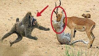 Hero Baboons Save Impala From Cheetah in Kruger National Park    Baboon vs Cheetah   