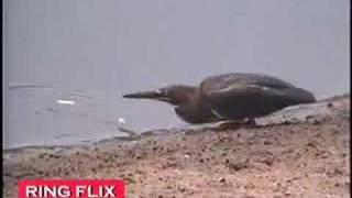 Thumb Sorprendente pájaro pescando como un humano