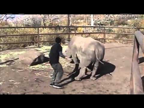 Awkward Man Tries To Have Sex With A Rhino (hd) video