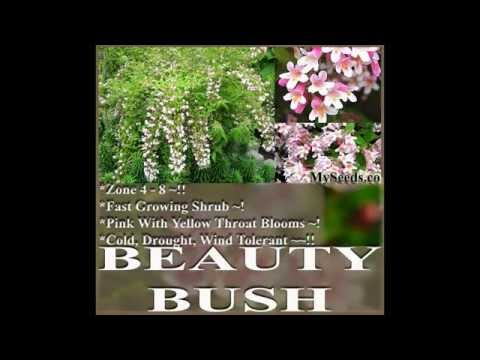 Beauty Bush - Kolkwitzia amabilis - Shrub Seed - on www.MySeeds.Co