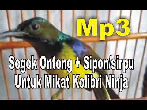 Cara mikat burung kolibri Ninja [Mp3]