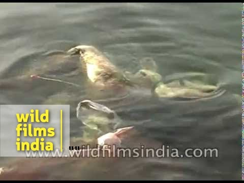 Dead bodies found in river  Ganga - India