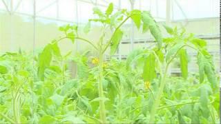Thách thức ứng dụng công nghệ sinh học cho sản xuất rau hữu cơ