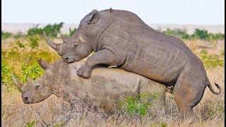 Đây là cách tê gác giao phối trong thế giới tự nhiên hoang dã