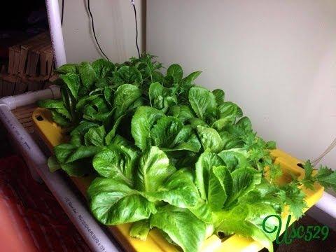 Dwc Hydroponic Lettuce  Giant Caesar