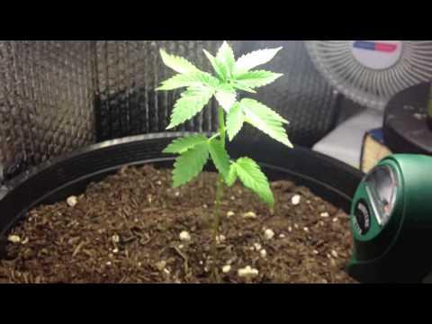 One month old marijuana plant