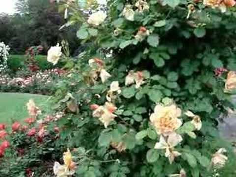 Come take a stroll through a beautiful rose garden.
