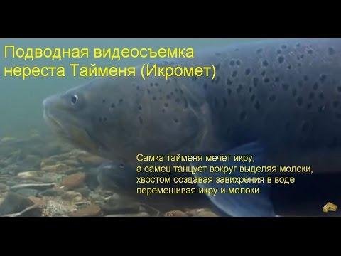 Таймень мечет икру - икромет / Рыбалка / Охота / Подводная съемка