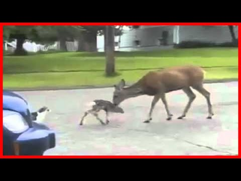 Deer VS Cat Voiceover LMAO