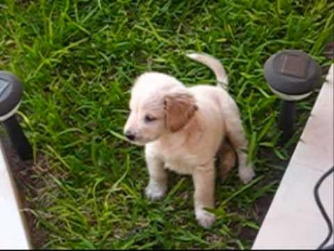 Golden retriever cachorro 1 mes youtube - Comida para cachorros de un mes ...